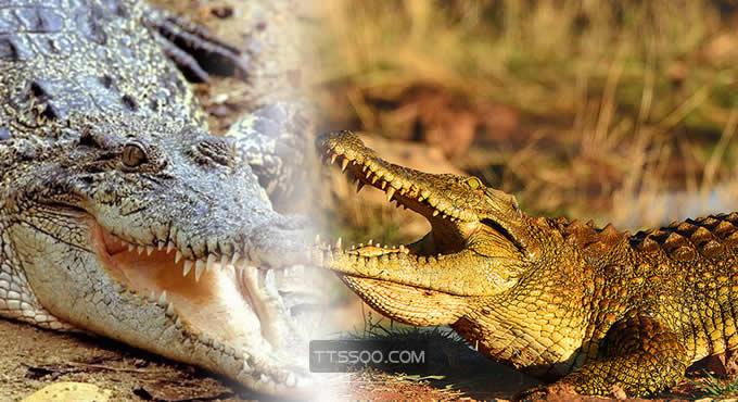 湾鳄vs尼罗鳄