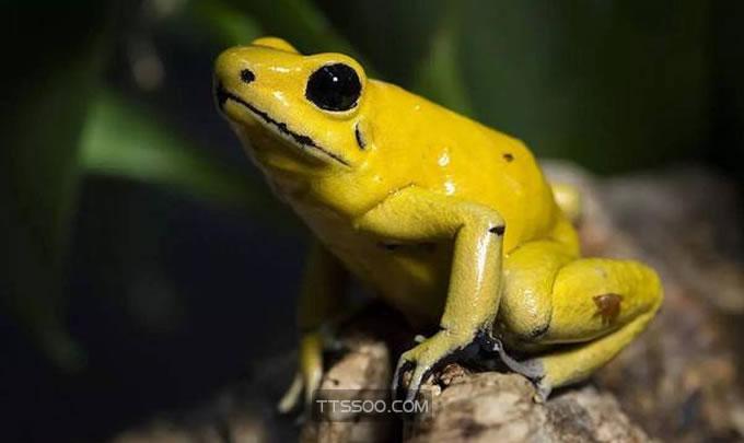 黄金箭毒蛙