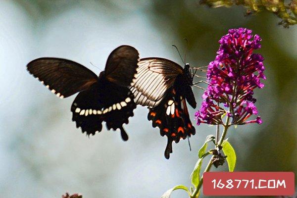 玉带凤蝶有毒吗?模仿有毒的红珠凤蝶(为了躲避敌害)