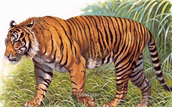 巴厘虎vs美洲豹
