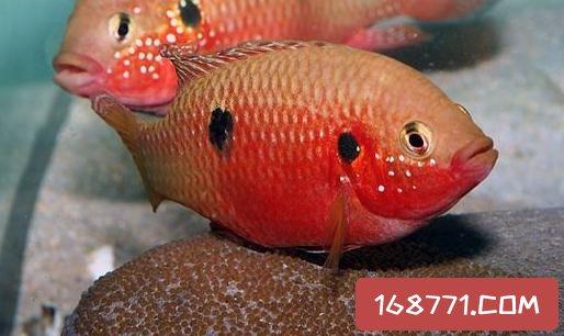 红宝石鱼的简介-红宝石鱼的品种