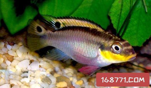 翡翠凤凰短鲷的饲料-翡翠凤凰短鲷的繁殖