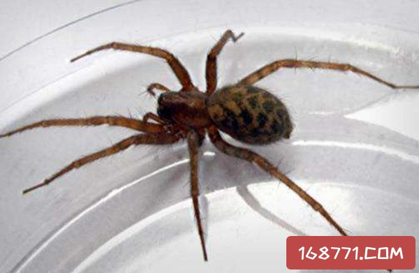 世界十大最毒蜘蛛,巴西游走蛛6微克毒液可杀老鼠