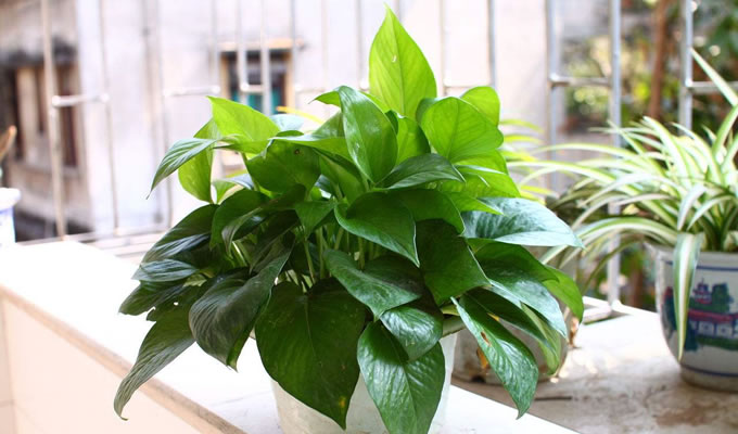 绿萝枝可以直接种植土