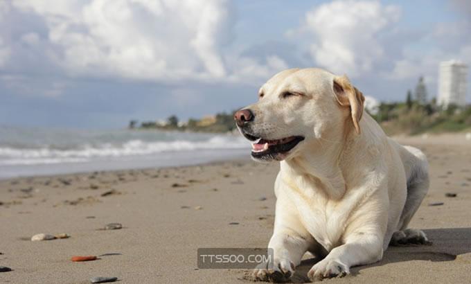 纯种拉布拉多犬