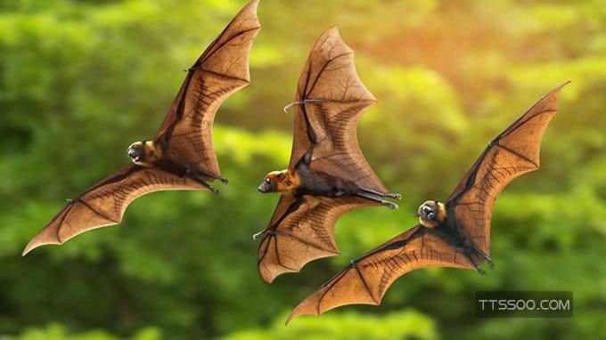 蝙蝠飞到家是什么预兆