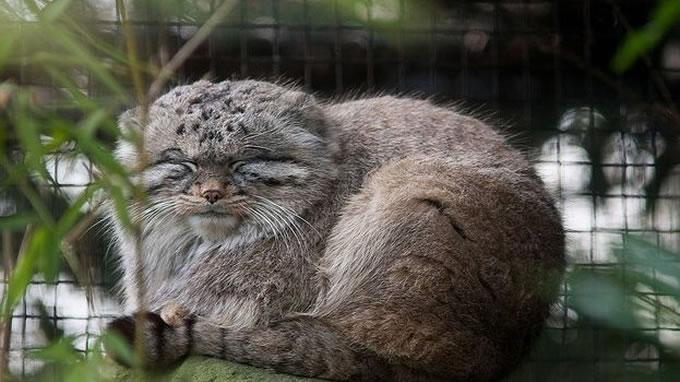 兔狲看上去并不像凶猛的野兽