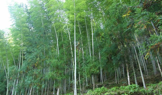 为什么竹子可以迅速生长