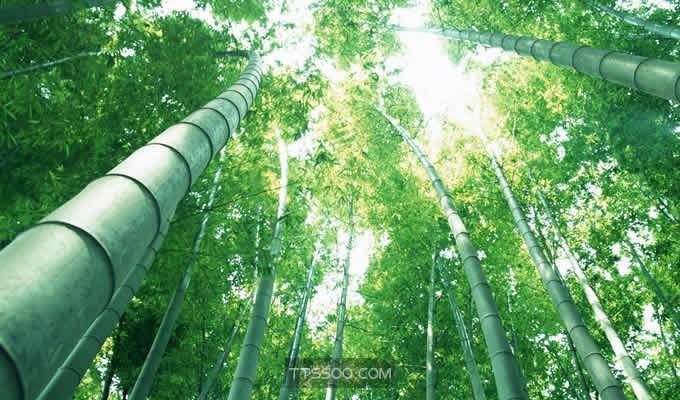 竹子是生长速度最快的植物