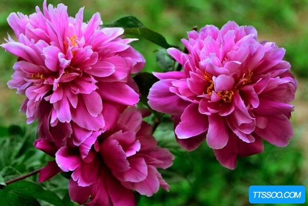 芍药和牡丹的区别,牡丹三月开花为花王(芍药春夏开花为花相)