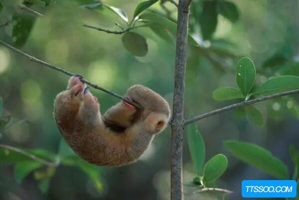 树懒和考拉的区别,树懒有脚但懒的走路(考拉每天睡18小时)