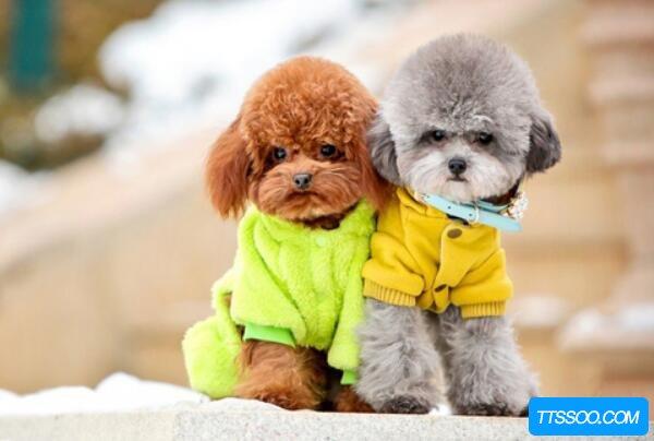 贵宾犬和泰迪的区别,贵宾犬美容后就是泰迪(同一品种)