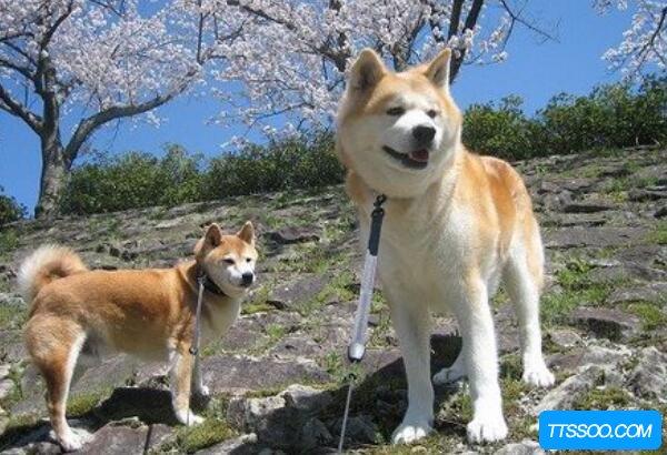 柴犬和秋田犬的区别,柴犬嘴尖更活泼(秋田犬体型大毛更长)
