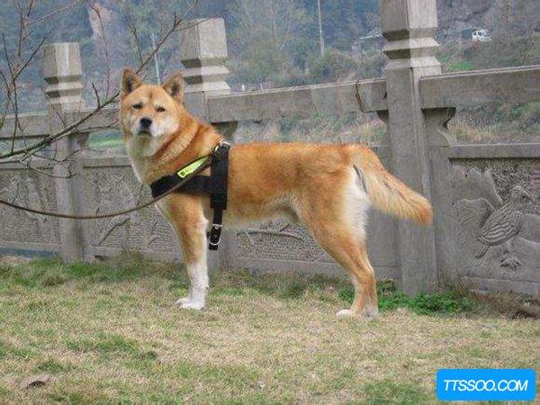 中华田园犬的缺点是什么?看了这些还想养一只吗