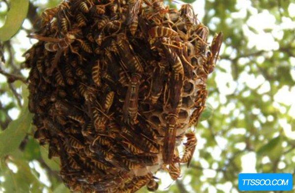 家里有马蜂窝的预兆?家里来了马蜂说明了什么