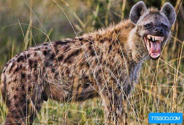 鬣狗为什么不主动攻击人类?难道是对人类有特别的亲近吗