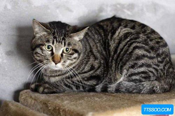 中华田园猫分为哪几种,哪一种猫咪是你的菜