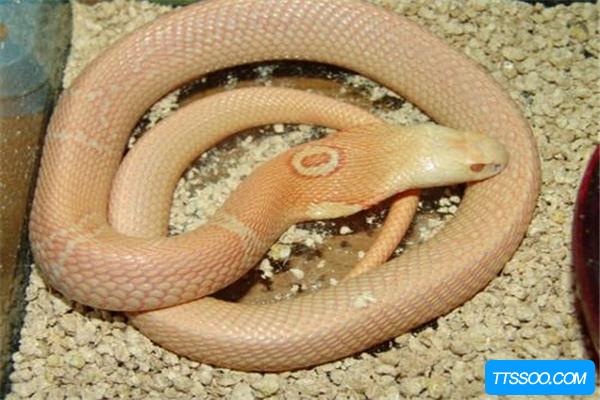 白化眼镜王蛇全身灰白长约5米 被它咬上一口直接死亡