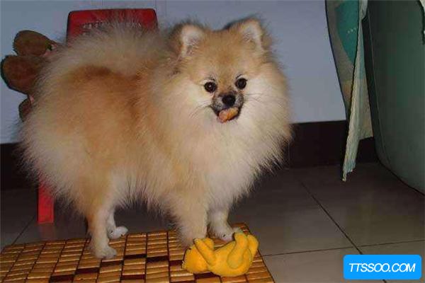 博美犬的祖先是什么?