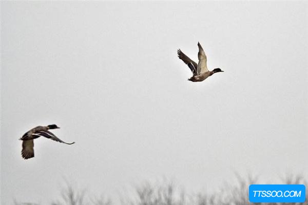 大雁的祖先是什么?