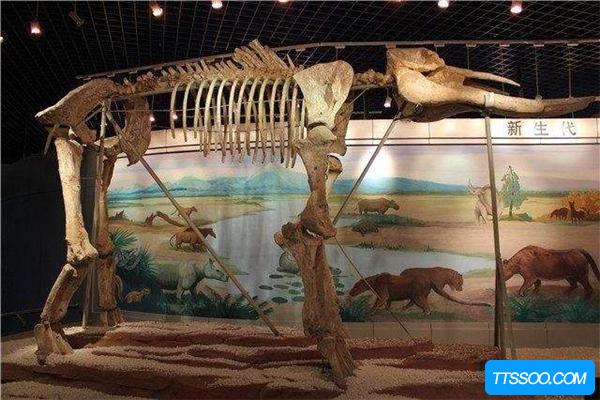 古齿象是始祖象的近亲 拥有四颗铲状牙齿(极为独特)