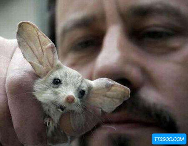 沙漠中的米老鼠长耳跳鼠:体型娇小耳朵大而长相当可爱