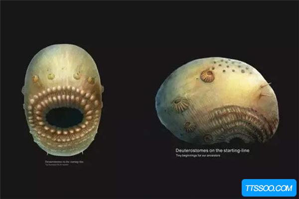 棘皮动物的祖先是什么?