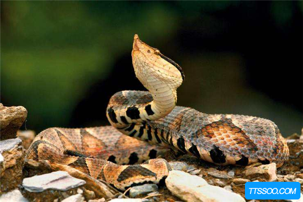 尖吻蝮3万年前存活至今 大三角脑袋像落叶(俗称五步蛇)