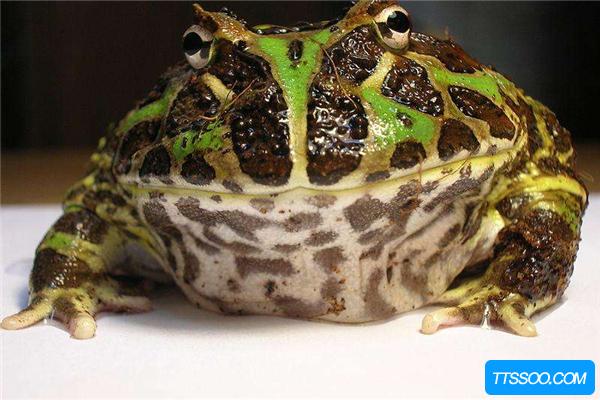 角蛙的祖先是什么?