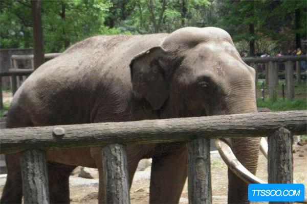 居维叶象诞生于200万年前 或隐藏在亚马逊森林存活至今