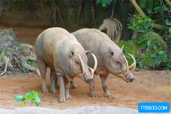 鹿豚的祖先是什么?