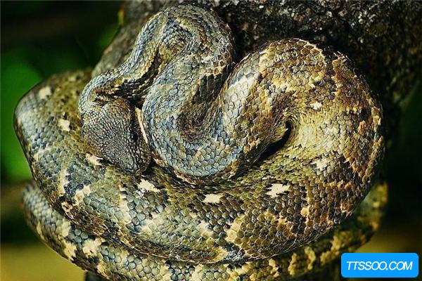 蟒蛇有多长?一口能吞下斑马 身体似水桶粗(最长12米)