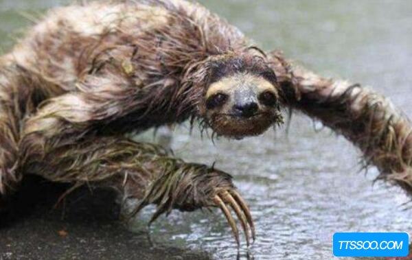 水猴子真的存在吗,实为变异的水獭(拉小孩入水淹死)