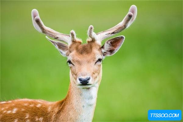 梅花鹿的祖先是什么?