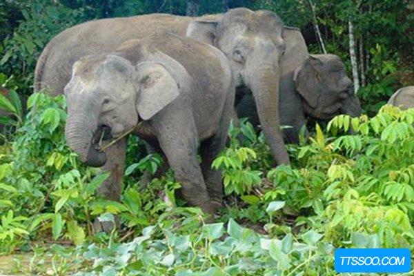 欧洲矮象与当代亚洲象血缘深厚 曾被西方称之为神灵