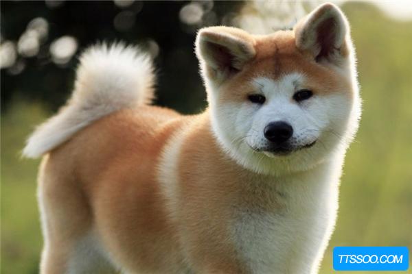 秋田犬的祖先是什么?