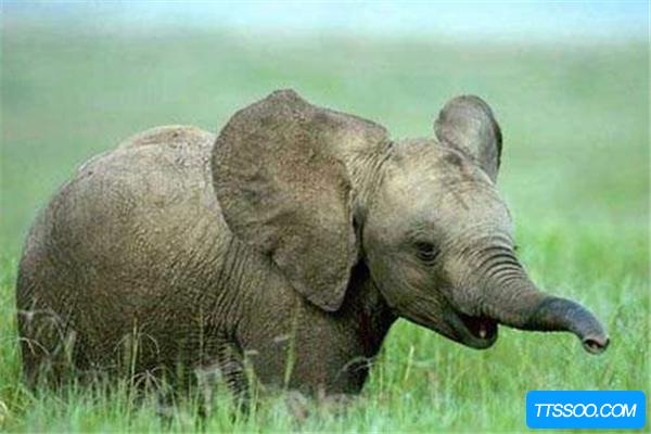 始祖象身高仅1米 堪比未成年现代象(鼻子像猪短且灵敏)