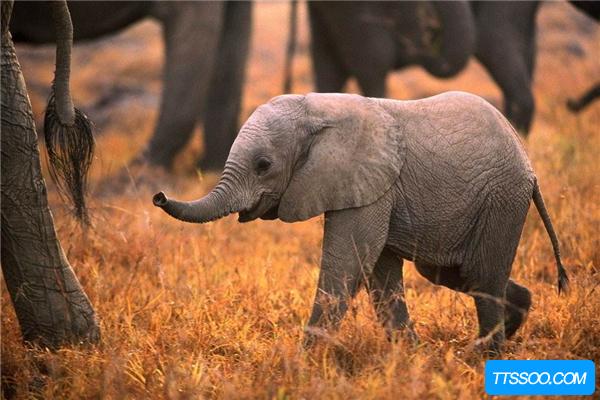 始祖象的进化过程揭秘 经历五代从身高1米进化为巨兽