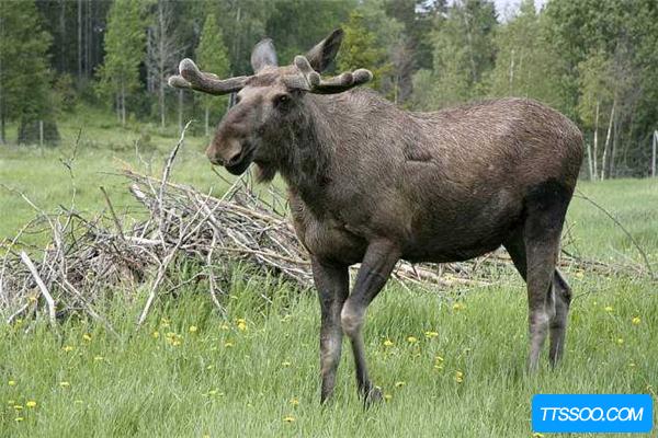 驼鹿的祖先是什么?
