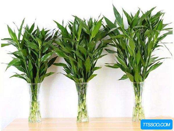 养富贵竹对家庭有什么好处?富贵竹可以消除甲醛吗