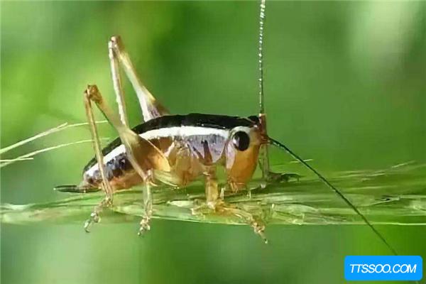 蟋蟀的祖先是什么?