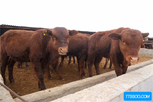 原牛因人类捕杀遭到灭绝 逐渐演化出家牛