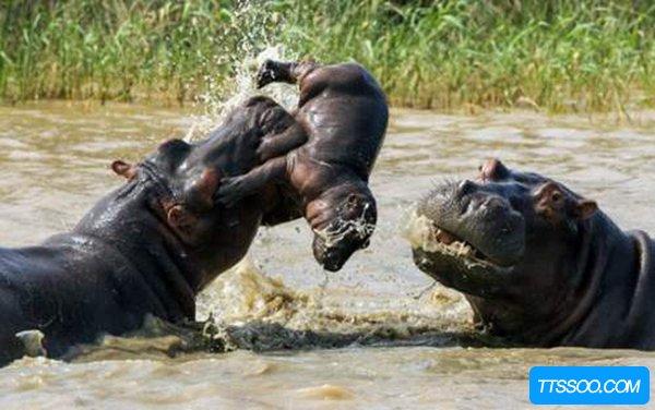 犀牛vs河马谁赢谁输?犀牛为什么更胜一筹