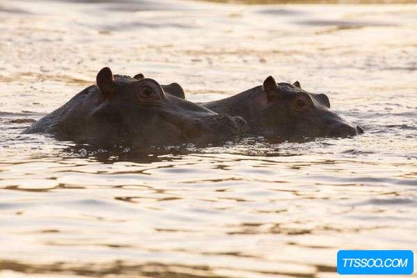 河马不会游泳却浸泡在水里 它为什么不会被淹死