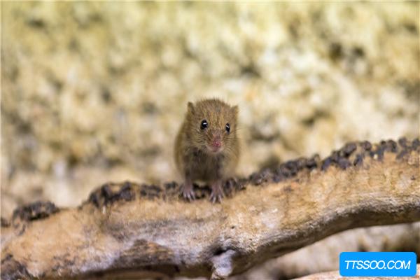老鼠的祖先是什么?