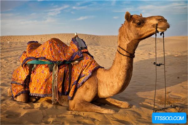 骆驼的祖先是什么?