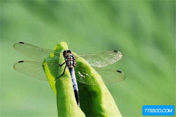 蜻蜓的祖先是什么?