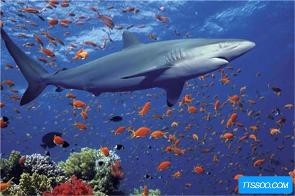 鲨鱼祖先是什么?