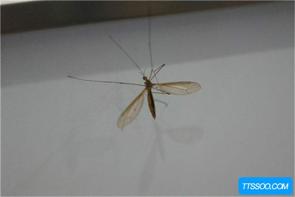 蚊子的祖先最早可追溯到侏罗纪,远古蚊子和老鹰一样大