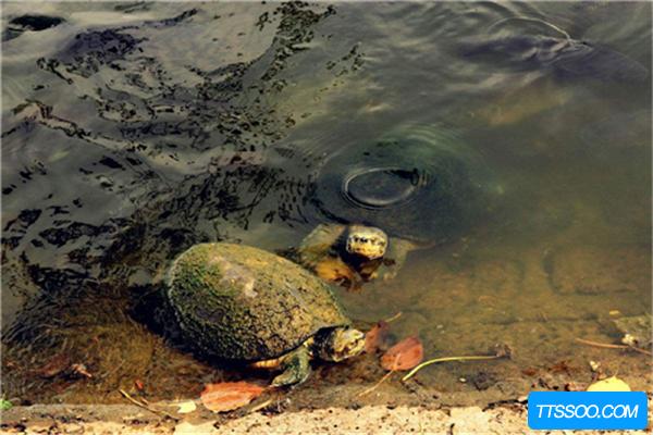 乌龟的祖先是远古爬行动物,体型庞大却以草为食(达6吨)